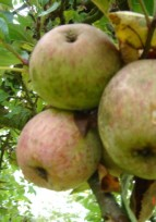 Participation à la fête de la pomme, à Conches en Ouche, le 26 octobre 2014