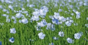 fleur-de-lin_maxi